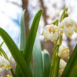 53871649 1047323765458876 1049348531472564224 n 150x150 - W Śnieżycowym Jarze już kwitną śnieżyce!