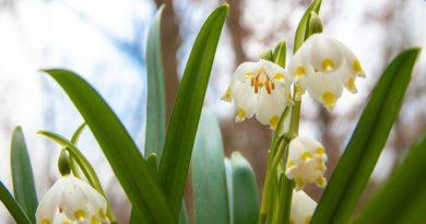 W Śnieżycowym Jarze już kwitną śnieżyce!