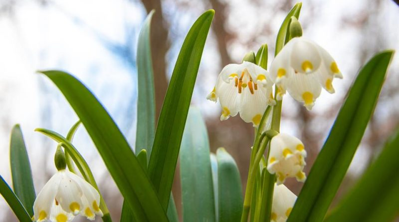 53871649 1047323765458876 1049348531472564224 n 800x445 - W Śnieżycowym Jarze już kwitną śnieżyce!