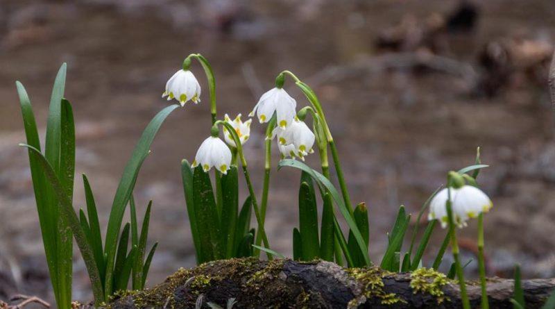 54379895 1047323968792189 309195571812368384 n 800x445 - W Śnieżycowym Jarze już kwitną śnieżyce!