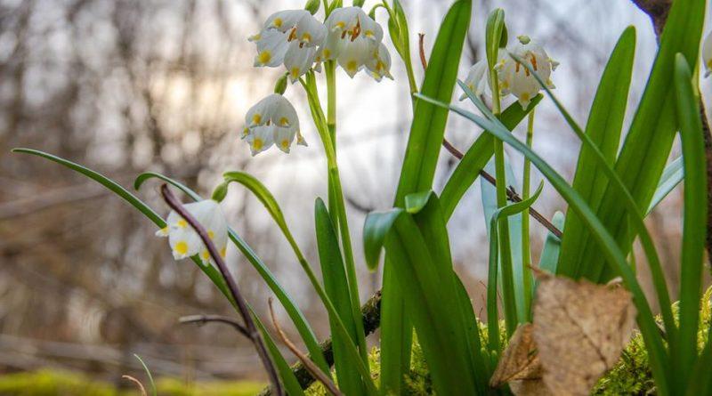 54398108 1047323728792213 3554791285250326528 n 800x445 - W Śnieżycowym Jarze już kwitną śnieżyce!