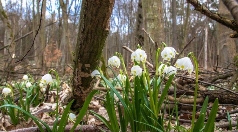 54517195 1047323838792202 8078177964392448000 n 800x445 - W Śnieżycowym Jarze już kwitną śnieżyce!