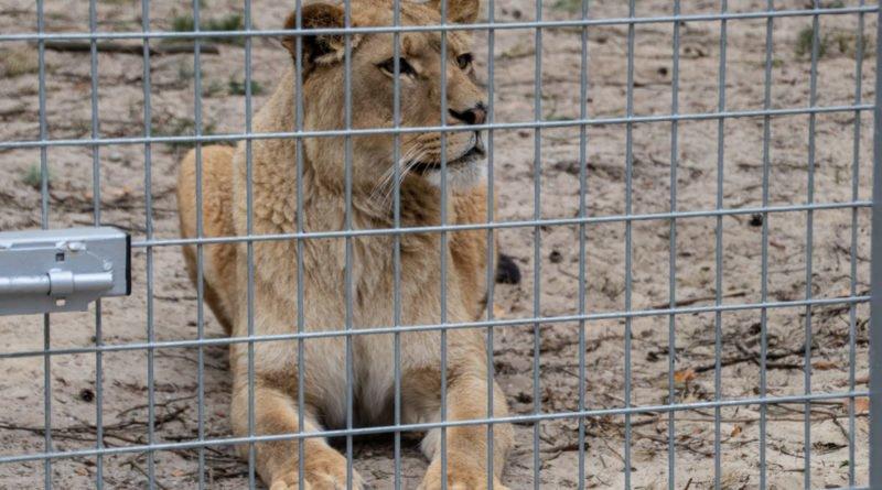 otwarcie lwiarni w nowym zoo 27.04 slawek wachala 19 800x445 - Otwarcie Azylu dla ocalonych zwierząt w Nowym Zoo