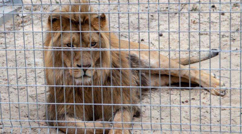 otwarcie lwiarni w nowym zoo 27.04 slawek wachala 2 800x445 - Otwarcie Azylu dla ocalonych zwierząt w Nowym Zoo