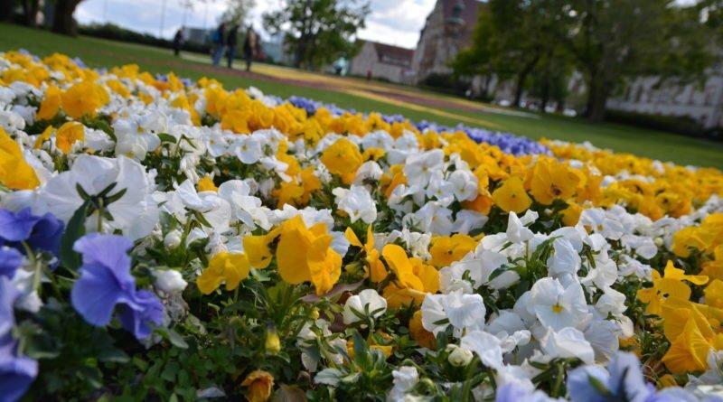 dywany kwiatowe fot. karolina adamska 3 800x445 - Poznań: W mieście powstały dywany kwiatowe (zdjęcia)