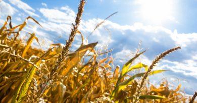 upal wies pole slonce 390x205 - Wielkopolska Izba Rolnicza. Olbrzymie straty w związku z suszami w Wielkopolsce