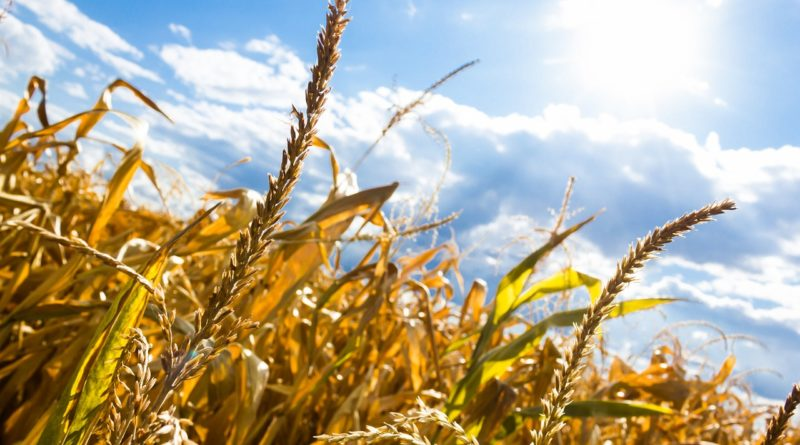 upal wies pole slonce 800x445 - Wielkopolska Izba Rolnicza. Olbrzymie straty w związku z suszami w Wielkopolsce