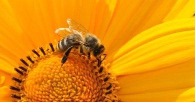 pszczola pszczoly 1 390x205 - Wągrowiec: Poszukiwany za wytrucie pszczół