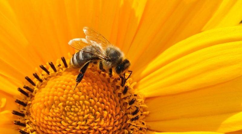 pszczola pszczoly 1 800x445 - Wągrowiec: Poszukiwany za wytrucie pszczół