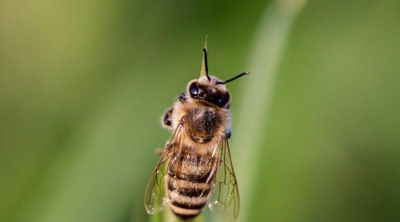 pszczola pszczoly 2 800x445 - Turek: Tysiące martwych pszczół. Pszczelarze powiadomili policję