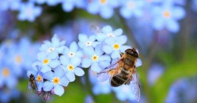 pszczola pszczoly 3 390x205 - 20 maja - Światowy Dzień Pszczół