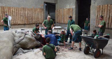 ninio 1 fot.zoo  390x205 - Poznań: Jak słoń Ninio był u dentysty