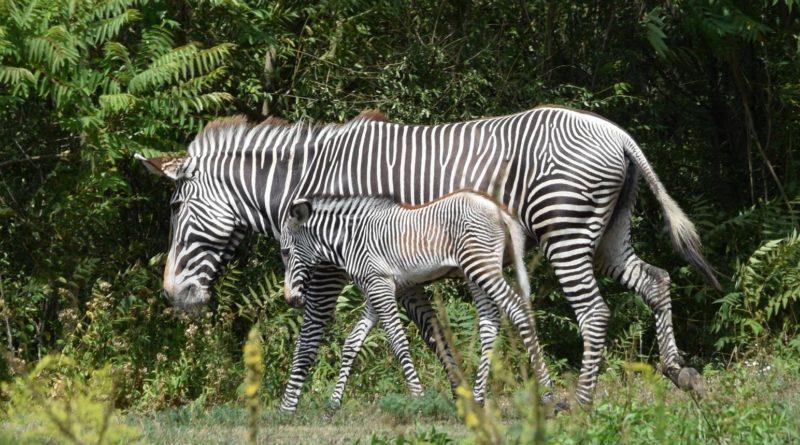 zoo fot. ump 1 800x445 - Poznań: Zobacz maluchy z zoo! (zdjęcia)