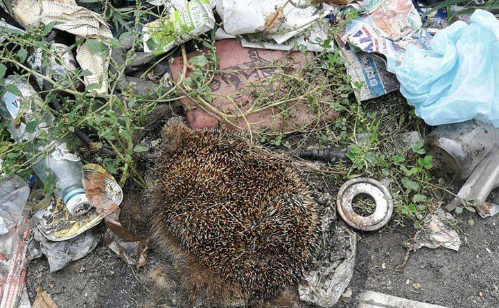 """jeze fot. sm kalisz 2 720x445 - Bezdomny zabijał jeże. Tłumaczył, że """"wyjadały mu jedzenie"""""""