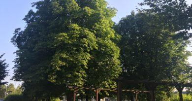 kasztanowce przesadzone w 2002 roku 1 390x205 - Poznań: Przesadzajmy drzewa zamiast je wycinać - proponuje radny Andrzej Rataj