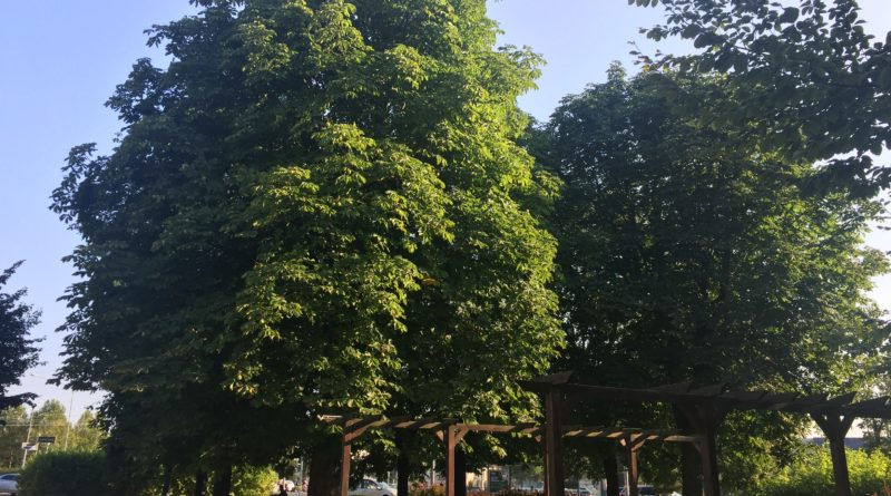 kasztanowce przesadzone w 2002 roku 1 800x445 - Poznań: Przesadzajmy drzewa zamiast je wycinać - proponuje radny Andrzej Rataj