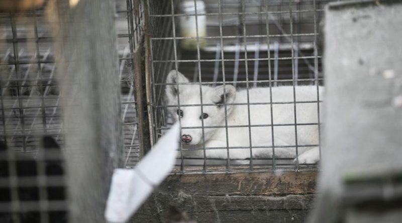 otwarte klatki lis2 fot. otwarte klatki 800x445 - Kalisz: Otwarte Klatki uratowały lisa z fermy w Karskach