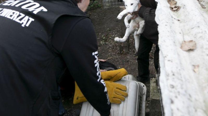 otwarte klatki lis3 fot. otwarte klatki 800x445 - Kalisz: Otwarte Klatki uratowały lisa z fermy w Karskach