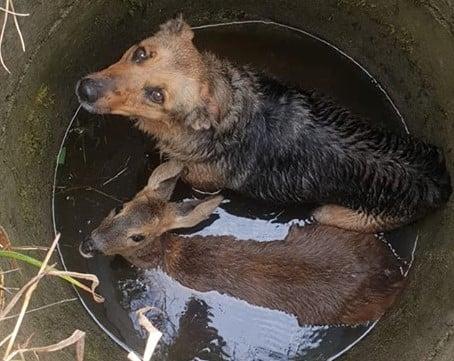 pies i sarna osp kaczory - Kaczory: Jak strażacy psa i sarnę z jednej studni ratowali