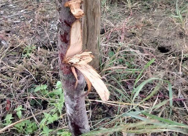 drzewa fot. gddia 615x445 - Jarocin: Kto zniszczył drzewa przy obwodnicy?