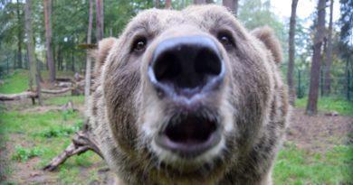 niedźwiedź Baloo fot. zoo poznań