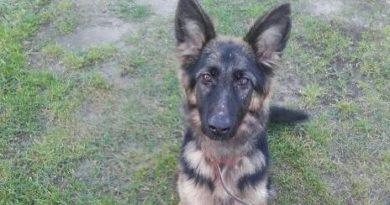 owczarek niemiecki fot. straż miejska - właściciel psa
