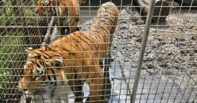 tygrysy fot. zoo poznań