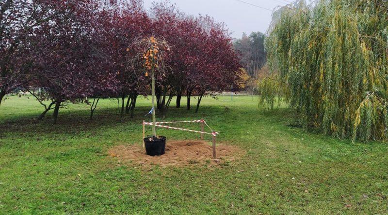 Piątkowo nowe drzewa 2 fot. Jan Perz