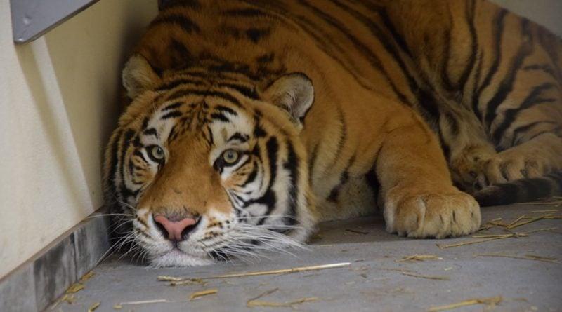 Tygrys fot. Zoo Poznań