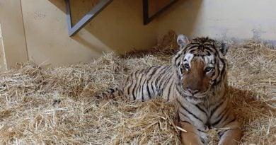 Tygrys Gogh, fot. Zoo