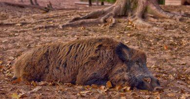 dzik 7 390x205 - Konin: Martwy dzik w Borzykowie. I leży od października...