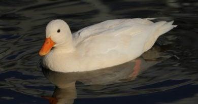 kaczka 390x205 - Słaborowice: Trzecie ognisko ptasiej grypy