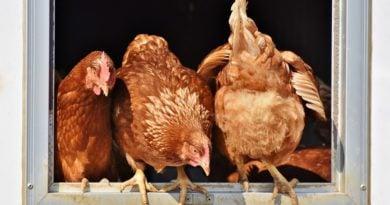 kury, kurczaki