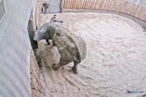 nowe zoo operacja slonia ninio fot. slawek wachala 3498 300x200 - Poznań: Operacja słonia Ninio. Dyrektor zoo prosi o trzymanie kciuków