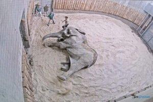 nowe zoo operacja slonia ninio fot. slawek wachala 3499 300x200 - Poznań: Operacja słonia Ninio. Dyrektor zoo prosi o trzymanie kciuków