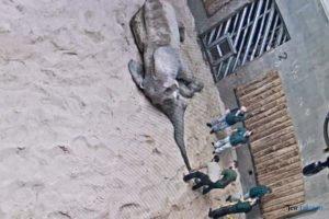 nowe zoo operacja slonia ninio fot. slawek wachala 3507 300x200 - Poznań: Operacja słonia Ninio. Dyrektor zoo prosi o trzymanie kciuków