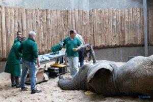 nowe zoo operacja slonia ninio fot. slawek wachala 3516 300x200 - Poznań: Operacja słonia Ninio. Dyrektor zoo prosi o trzymanie kciuków