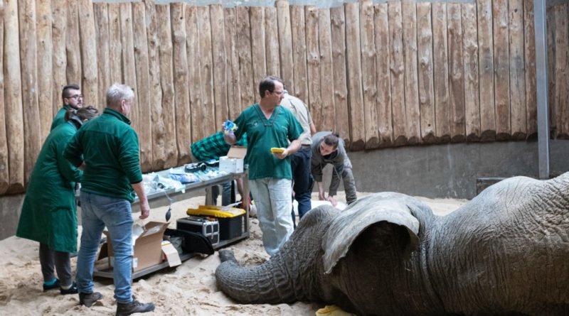 nowe zoo operacja slonia ninio fot. slawek wachala 3516 800x445 - Poznań: Operacja słonia Ninio. Dyrektor zoo prosi o trzymanie kciuków