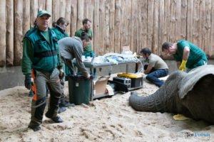 nowe zoo operacja slonia ninio fot. slawek wachala 3534 300x200 - Poznań: Operacja słonia Ninio. Dyrektor zoo prosi o trzymanie kciuków
