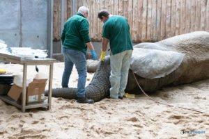 nowe zoo operacja slonia ninio fot. slawek wachala 3541 300x200 - Poznań: Operacja słonia Ninio. Dyrektor zoo prosi o trzymanie kciuków
