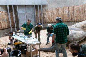 nowe zoo operacja slonia ninio fot. slawek wachala 3552 300x200 - Poznań: Operacja słonia Ninio. Dyrektor zoo prosi o trzymanie kciuków