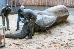 nowe zoo operacja slonia ninio fot. slawek wachala 3553 300x200 - Poznań: Operacja słonia Ninio. Dyrektor zoo prosi o trzymanie kciuków