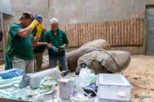 nowe zoo operacja slonia ninio fot. slawek wachala 3558 300x200 - Poznań: Operacja słonia Ninio. Dyrektor zoo prosi o trzymanie kciuków