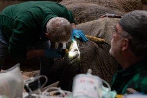 nowe zoo operacja slonia ninio fot. slawek wachala 3562 300x200 - Poznań: Operacja słonia Ninio. Dyrektor zoo prosi o trzymanie kciuków