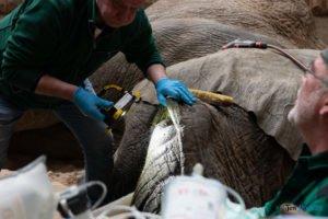 nowe zoo operacja slonia ninio fot. slawek wachala 3564 300x200 - Poznań: Operacja słonia Ninio. Dyrektor zoo prosi o trzymanie kciuków