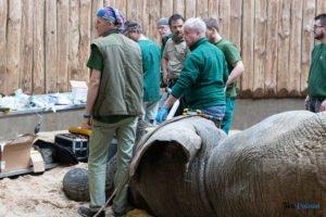 nowe zoo operacja slonia ninio fot. slawek wachala 3578 300x200 - Poznań: Operacja słonia Ninio. Dyrektor zoo prosi o trzymanie kciuków