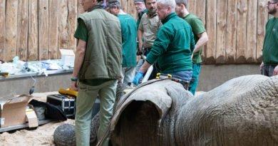 nowe zoo operacja slonia ninio fot. slawek wachala 3578 390x205 - Poznań: Słoń Ninio dochodzi do siebie