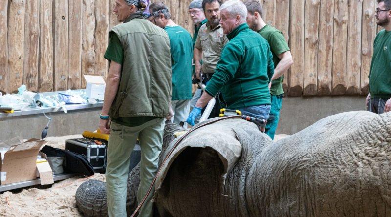 nowe zoo operacja slonia ninio fot. slawek wachala 3578 800x445 - Poznań: Słoń Ninio dochodzi do siebie