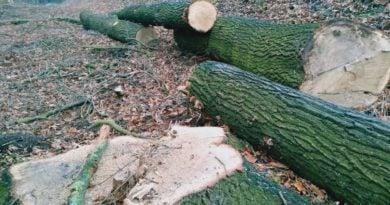 Ścięte drzewa fot. L. Łada