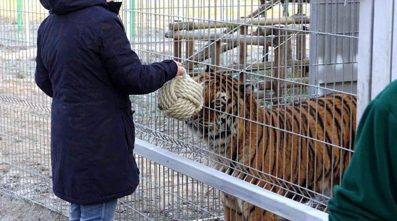 Tygrysy i zabawki 2fot. Zoo Poznań